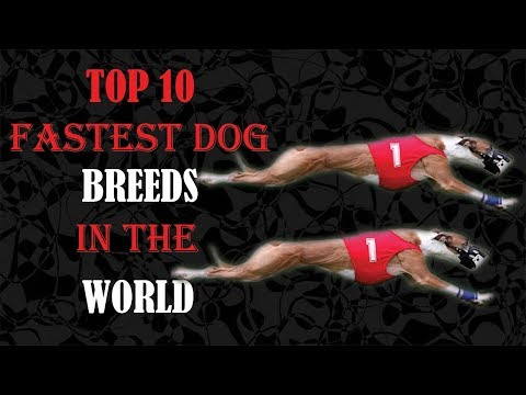 Top 10 Fastest Dog Breeds In The World