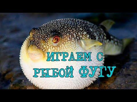 Вопрос: Почему рыба фугу выращенная на ферме совершенно не ядовитая?