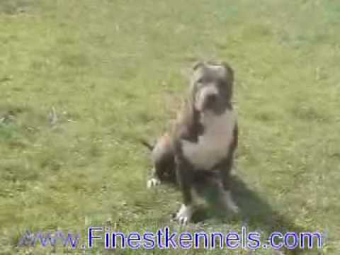 Blue Puppies For Sale, California Breeders