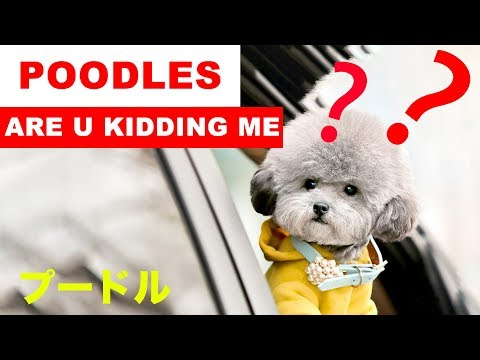 Funny and Cute Poodle Video 2019 | Funniest Poodle Compilation(プードル)- Funny Animal's Life Video