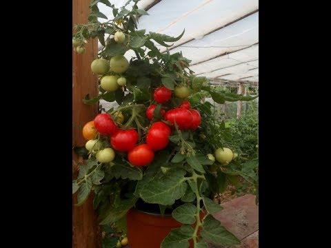 Томаты не для ленивых Выращивание овощей на своем огороде