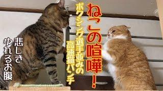 ねこの喧嘩!ボクシング選手並みの高速猫パンチ【女相撲】