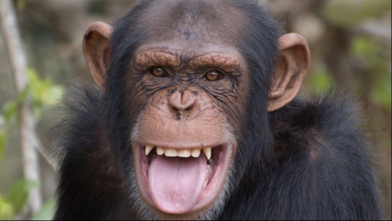Qué Pasa con los Chimpancés