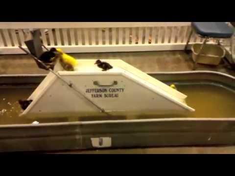 Baby Duck Waterslide! - YouTube
