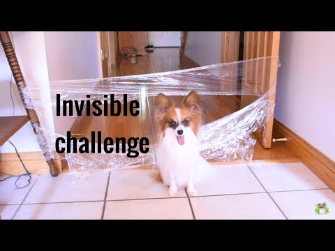 MY DOG REACTS TO THE INVISIBLE CHALLENGE / Percy the Papillon