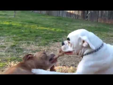 pitbull Dog fight in punjab