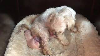 Maltese dog giving birth to 4 puppies :September 23, 2019