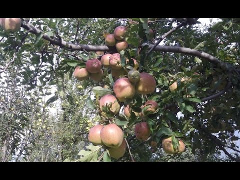 Beautiful Apple Garden Pahelgam Kashmir Must Watch