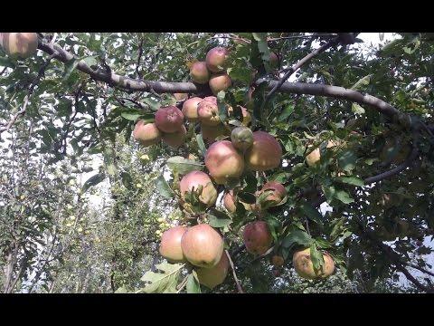 Beautiful Apple Garden Pahelgam Kashmir Must Watch
