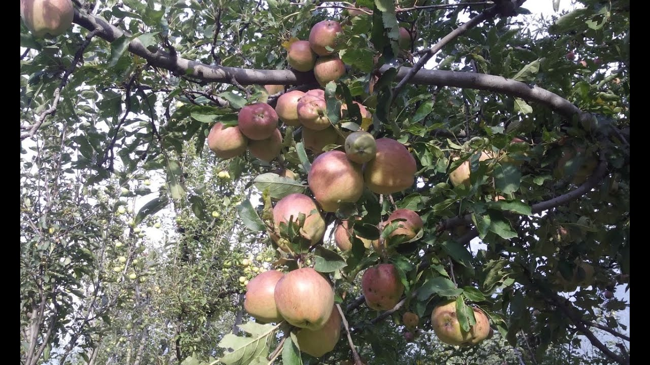 Image result for kashmir apple garden