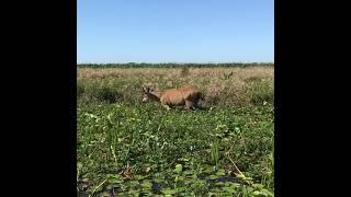 Esteros del Ibera- Ciervo de los pantanos