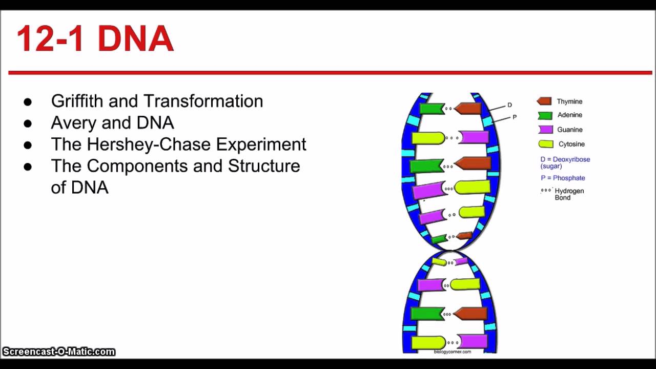 Dna rna review worksheet answers