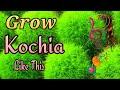 Grow Kochia like this in Summer