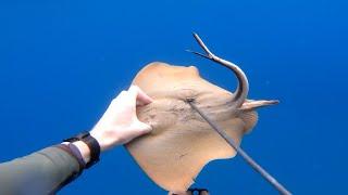 Охота на морского кота или ската хвостокола и как его готовить