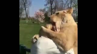 بالفيديو.. أسد يحتضن سيدة ويقبلها بشكل غريب