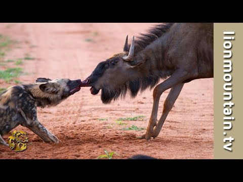 Wildebeest bulls Attack and Injure Wild Dog | CAUGHT IN THE ACT
