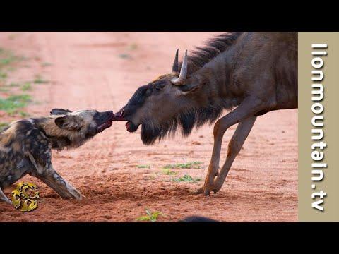Wildebeest Bulls Attack And Injure Wild Dog | CLASSIC WILDLIFE