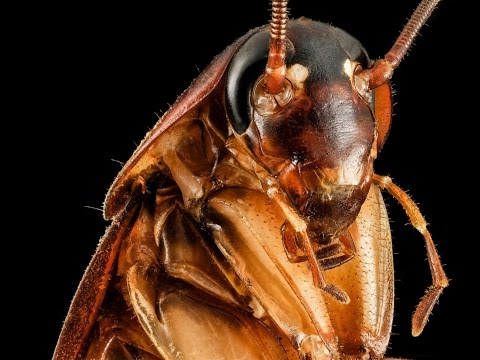 Кто такие рыжие тараканы и как от них избавиться навсегда.