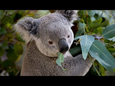 Animali d'Australia endemici video no slideshow Pistolozzi M