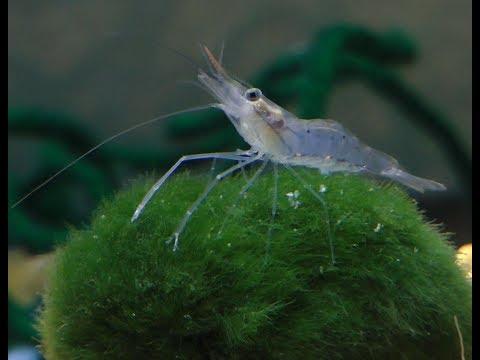Freshwater Shrimp raising at home