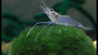 Freshwater Shrimp raising at home