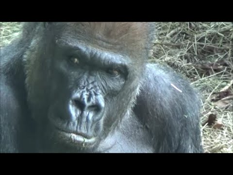 Gorillas show Human expressions and behaviors - by Kevin Hunter