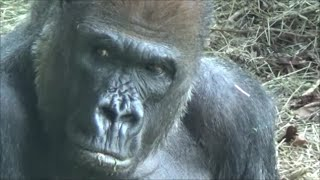 Gambar cover Silverback Gorillas show Human-like expressions and behaviors - Largest living Primate