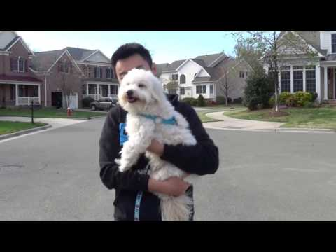 A Puppy's Day - Captain the Maltipoo turns 2!