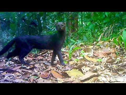 Jungle Animals Trail Cam PickUp || Ocelot And Jaguarundi Cats || Browning Trail Camera