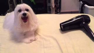 Automatic T3 Dog Dryer - Long Hair Maltese Ko B (6.5 Y.o.)