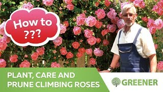 How to plant, care and prune climbing roses - all about climbing roses