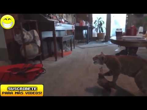 Videos de risa 2014 nuevos    Videos de Risa de Gatos Chistosos