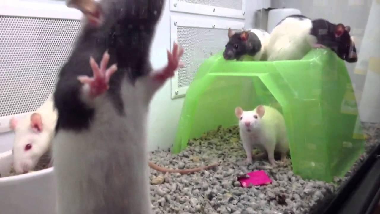 Petco Rats Visit to petco  rats