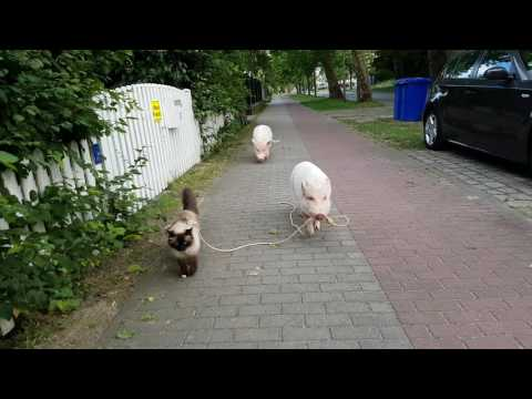 Minipig Moritz Shows Ragdoll Cat Leonardo Some Street Skills