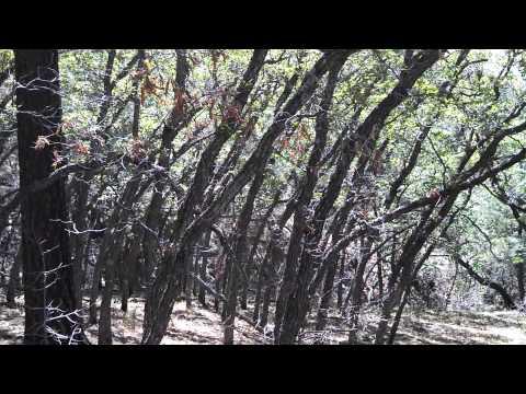 Oak Titmouse in Gambel Oak grove