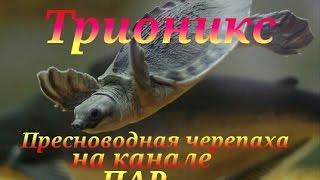 Трионикс. Черепаха.