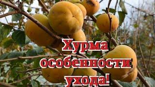 Хурма.  Как вырастить хурму!? В саду Николая Петровича Шендрик.