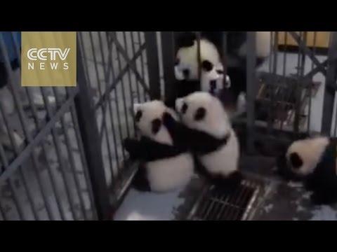 Watch: Panda prison break! Cubs make adorable attempt to escape