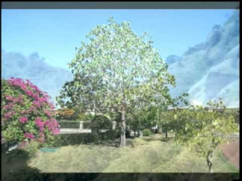 Jamaican National Tree - YouTube