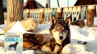 Камчатская ездовая собака. Планета собак 🌏 Моя Планета
