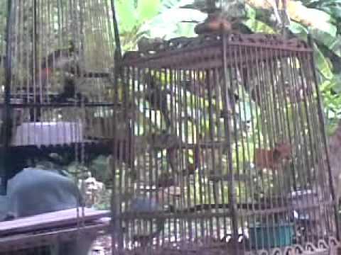 นกกรงหัวจุกป่าละอูแฮค1