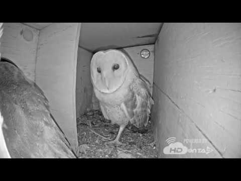 2018 - Clip from last night! Live Barn Owl Nest Cam! - YouTube