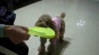 訓練狗--教學示範影片---狗狗玩飛盤訓練方法the way to practice Frisbee