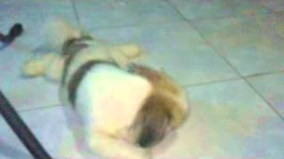 My Pet (shih Tzu) Brushing Her Teeth After Meal!