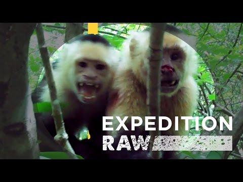 Capuchin Monkey Soap Opera in Costa Rica | Expedition Raw