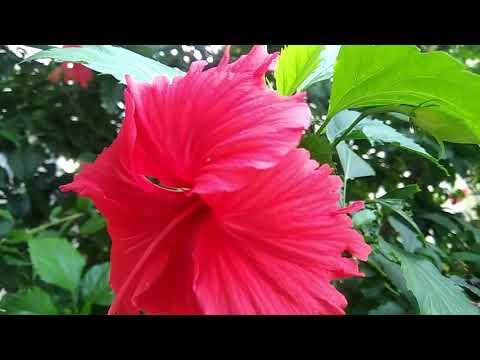 Unduh 47 Koleksi Gambar Bunga Kembang Sepatu Merah Gratis