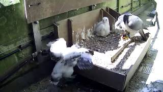 Salisbury Cathedral - Why is there an extra chick in our peregrine nest?