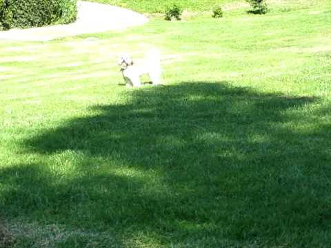 Shih Tzu Green Grass Running Fast Youtube