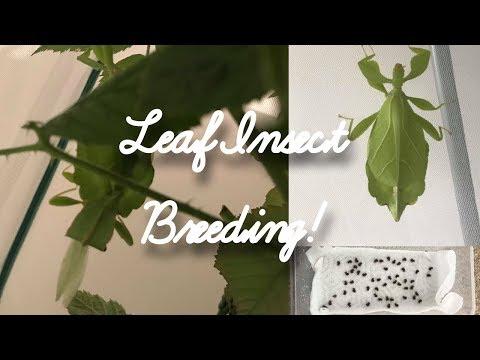 LEAF INSECT BREEDING & EGG INCUBATION (Phyllium Philippinicum)