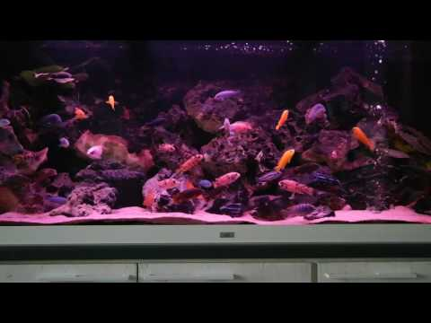 My Malawi Ciclids Mbuna tank, Jewel Rio 450 liters. New LED lights day & night.